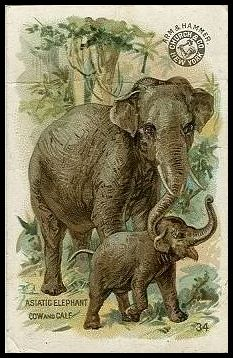 34 Asiatic Elephant
