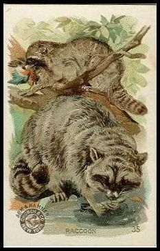 35 Raccoon
