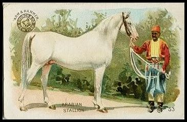 53 Arabian Stallion