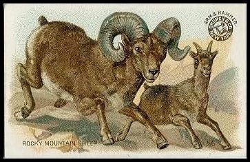 56 Rocky Mountain Sheep