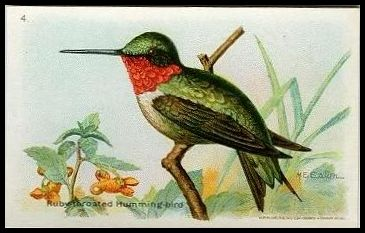 4 Ruby-throated Humming Bird