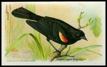 7 Red-winged Black Bird