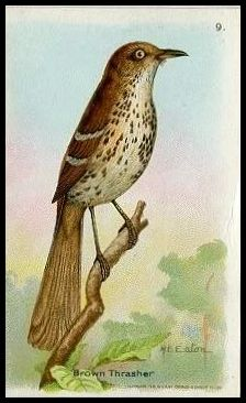 9 Brown Thrasher